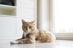 Ginger Cat relaxing at home Stock Images
