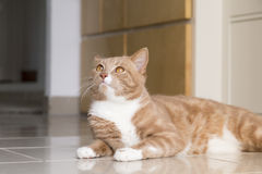 Ginger Cat relaxing at home Stock Photo