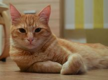 Ginger cat rest look home. Cute cat nice pet cat laying house floor puss in boots royalty free stock photos