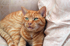 Beautiful ginger cat resting on a chair close up. A closeup of a resting ginger cat with green eyes and large white whiskers on a chair Royalty Free Stock Image