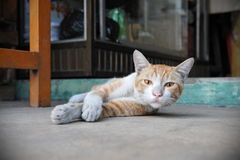 Ginger Cat. Rests on a Street in Yangon Burma Royalty Free Stock Image