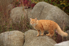 Ginger cat on rock. Ginger cat with fluffy tail standing on a rock Royalty Free Stock Photography
