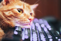 Ginger Cat rouge sur le clavier d'ordinateur Images stock