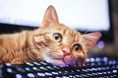 Ginger Cat rouge sur le clavier d'ordinateur Photos stock