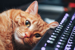 Ginger Cat rouge sur le clavier d'ordinateur Image libre de droits