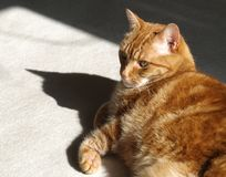 Ginger Cat and Shadow Royalty Free Stock Photos