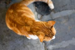 Ginger Cat on the Sidewalk stock photography