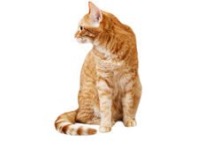 Ginger cat sits and looks away, turning his head in the sideway Stock Photography