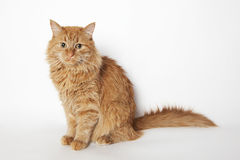 Ginger cat sits and looks at camera. White background Royalty Free Stock Photo
