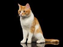 Ginger Cat Sits sorprendido en el espejo negro foto de archivo libre de regalías