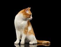 Ginger Cat Sits sorprendido en el espejo negro que mira la derecha imagenes de archivo