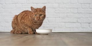 Ginger cat sitting around a bowl of food. Young Ginger cat waiting for drink Royalty Free Stock Photo