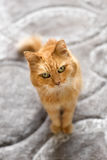 Ginger cat sitting indoors Royalty Free Stock Photos