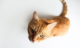 Ginger cat sitting and looking up. Top view royalty free stock photo