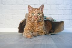 Ginger cat sitting in a paper bag and looking curious to the camera. royalty free stock photo