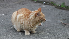 Ginger cat sitting on a path. A ginger cat sitting on a concrete path and looking around stock footage