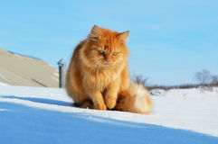 Ginger cat is sitting on the roof. Ginger cat is sitting on a roof in winter Royalty Free Stock Images