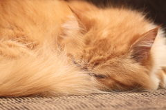 Ginger cat sleeping on the bed close-up Royalty Free Stock Photos