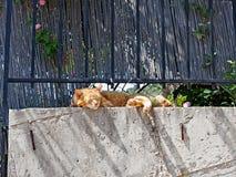 Ginger Cat Sleeping feliz en la pared del jardín fotos de archivo