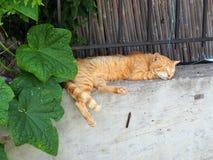 Ginger Cat Sleeping feliz en la pared del jardín foto de archivo