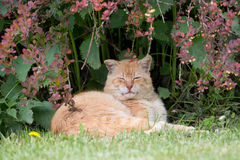 Ginger cat sleeping on grass Royalty Free Stock Photography
