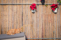 Ginger cat sleeping next to a bamboo fence Royalty Free Stock Image