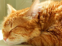 A ginger cat sleeping in the sun. Royalty Free Stock Photography