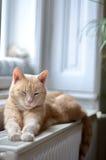 Ginger cat sleeping Royalty Free Stock Image