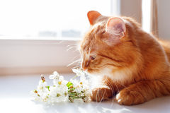 Ginger cat smells a bouquet of cherry flowers. Royalty Free Stock Photo