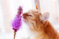 Ginger cat smells a bright lilac flower. Royalty Free Stock Images