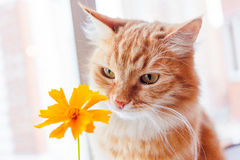Ginger cat smells a bright yellow flower. Cozy morning at home. Royalty Free Stock Image