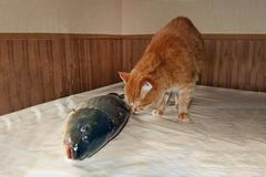 A ginger cat is sniffing a big fish on the table. Indoors royalty free stock photography