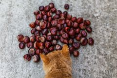 Ginger cat sniffing inedible chestnuts. On the road a large number of chestnuts royalty free stock photo