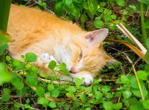 A ginger cat snoozing in an aquaponics garden Stock Photo