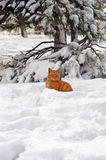 Ginger cat in the snow. Ginger cat sitting in the snow and staring Royalty Free Stock Images