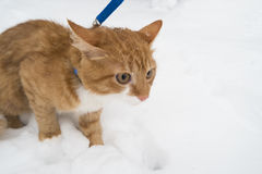 Ginger cat on snow Stock Photo