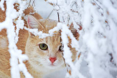 Ginger cat in snow-covered garden. Beautiful ginger cat sitting in the garden in the winter for the snow branches Royalty Free Stock Image