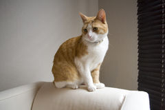 Ginger cat on sofa Stock Photos