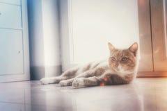 Ginger Cat som hemma kopplar av Arkivfoto
