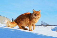 Ginger cat is standing on the roof. Ginger cat is standing on a snowy roof in winter Stock Images