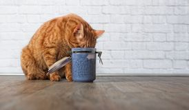 Ginger cat stealing food from a food container. Tabby cat eat dry food from a open food container Royalty Free Stock Photography