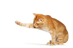 Ginger cat stretches out his paw. Isolated on white royalty free stock images
