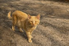 Ginger cat striped walks on the street stock photo