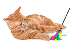Ginger cat in studio Royalty Free Stock Photos