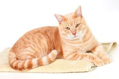 Ginger cat. Royalty Free Stock Image