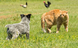 Ginger cat in a threatening stance,  to confront a puppy. Ginger cat in a threatening stance, bowing his back up to confront a puppy Royalty Free Stock Images