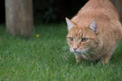 Ginger cat about to pounce Stock Image