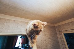 Ginger Cat on the Door at Home. Ginger Cat at the Top of the Door at Home stock photos