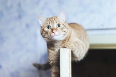 Ginger Cat on the Door at Home. Ginger Cat at the Top of the Door at Home royalty free stock image
