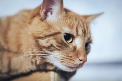 Ginger Cat on the Door at Home. Ginger Cat at the Top of the Door at Home stock photo
